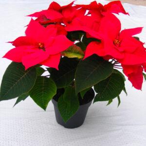 Poinsettia-ou-etoile-de-Noel