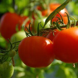 Tomate Pyros plant potager