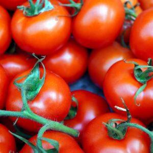 Tomate Maestria plant potager