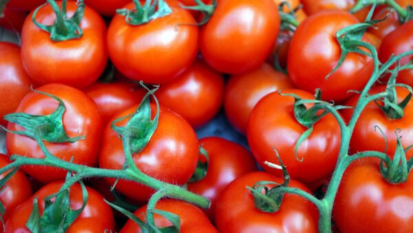 Tomate Fournaise France