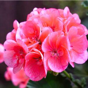 Geranium zonal plante fleurie