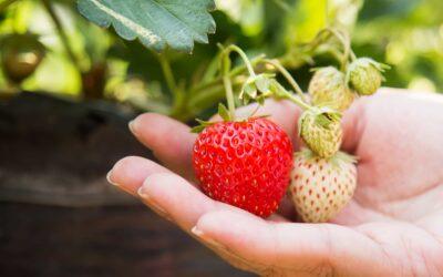 Quand et comment planter des fraisiers ?