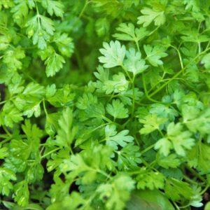 Cerfeuil commun vert